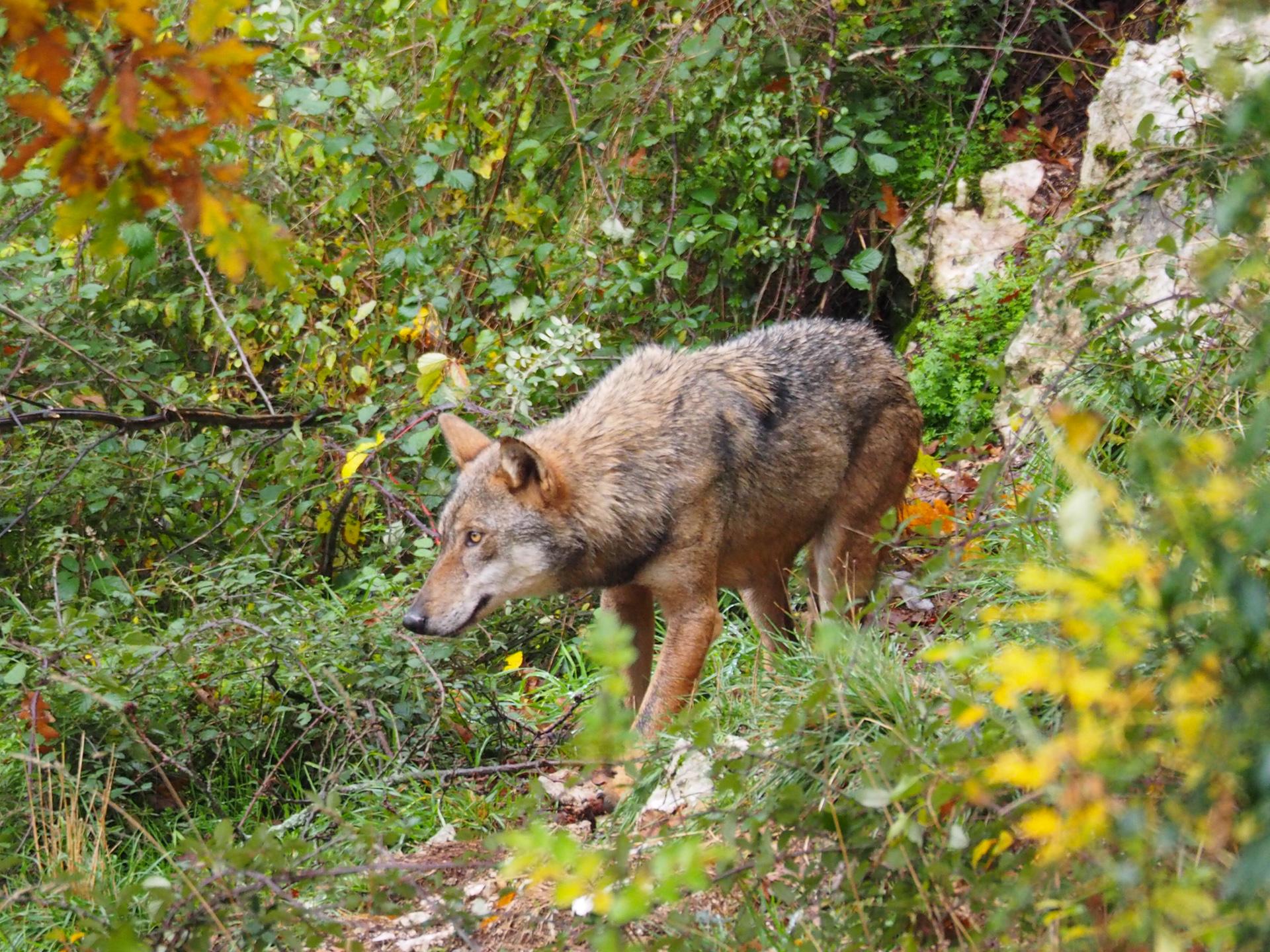 Loup parc Abruzzes