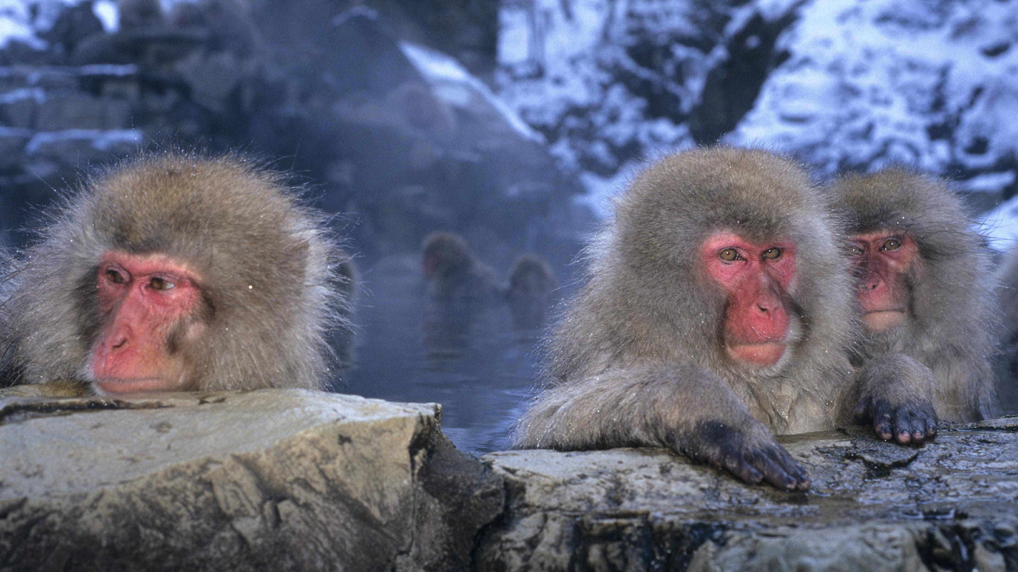 Macaque sources chaude Japon
