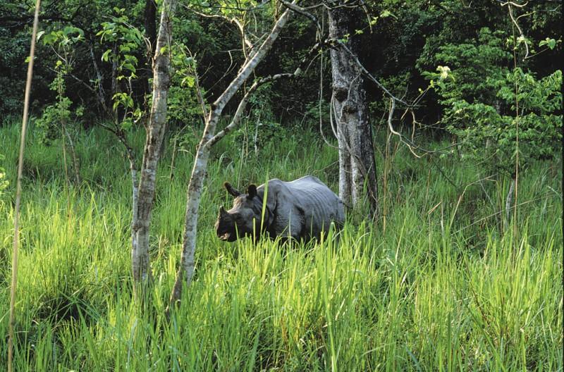 Rhinocéros Parc Chitwan Népal