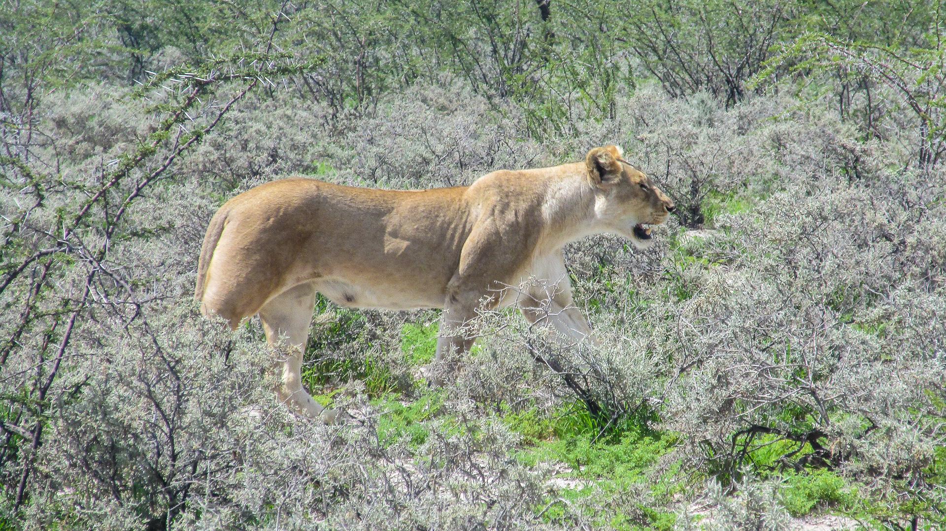 lion parc Etosha Namibie