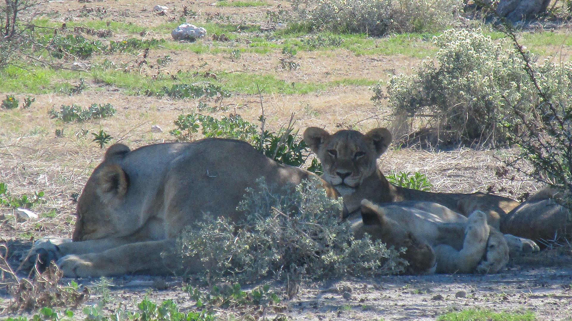 lionne et lionceau parc d'etosha Namibie