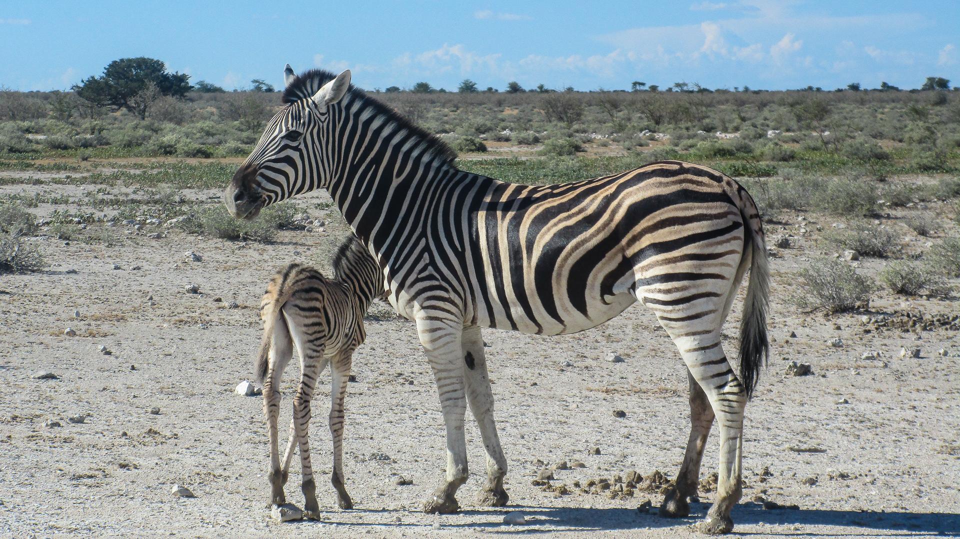 bebe zebre parc d'etosha Namibie