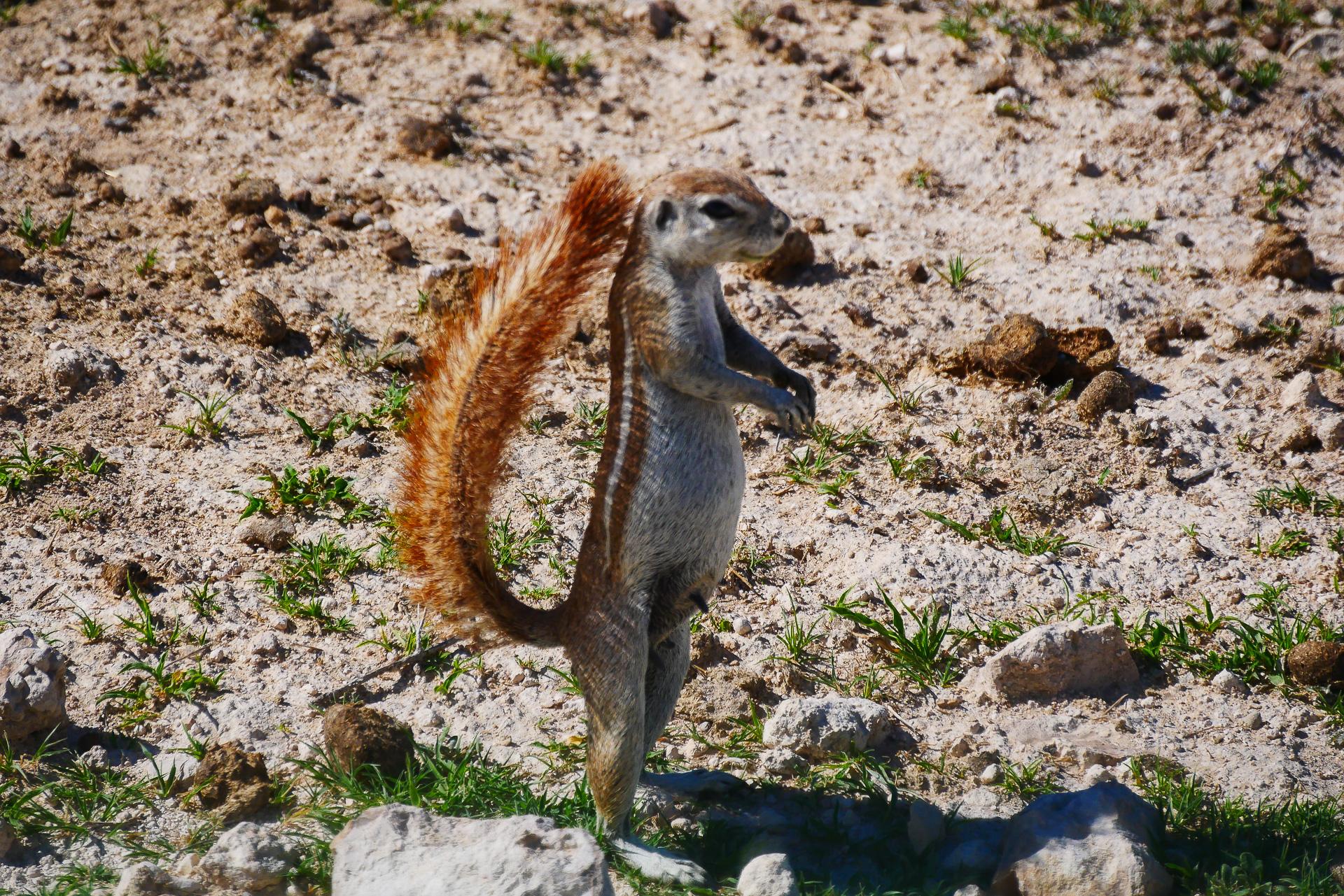 Écureuil fouisseur du cap parc d etosha namibie