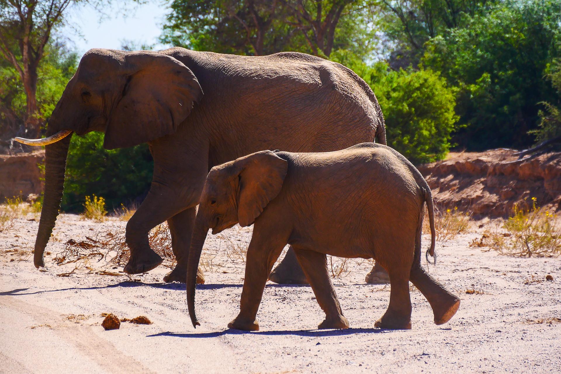éléphants du désert namibien