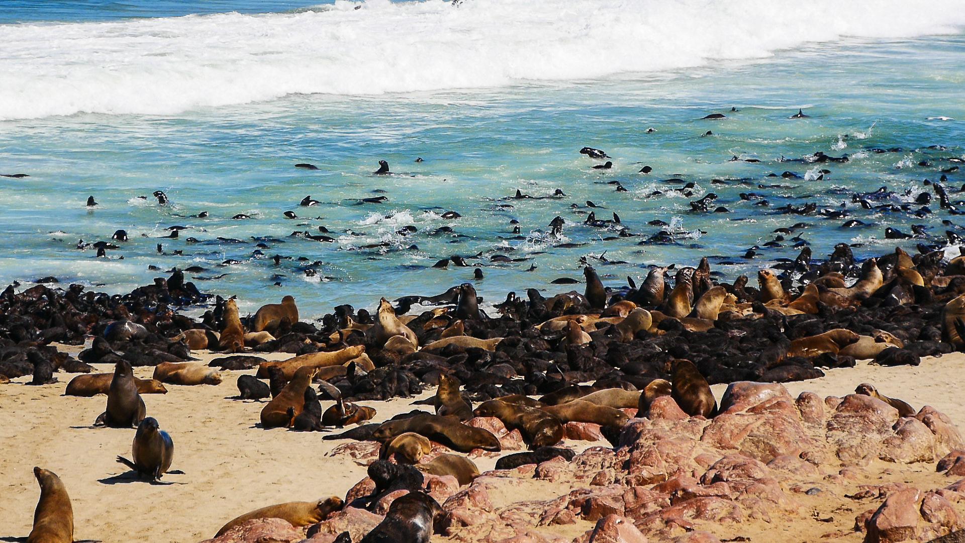 otaries de cape cross namibie