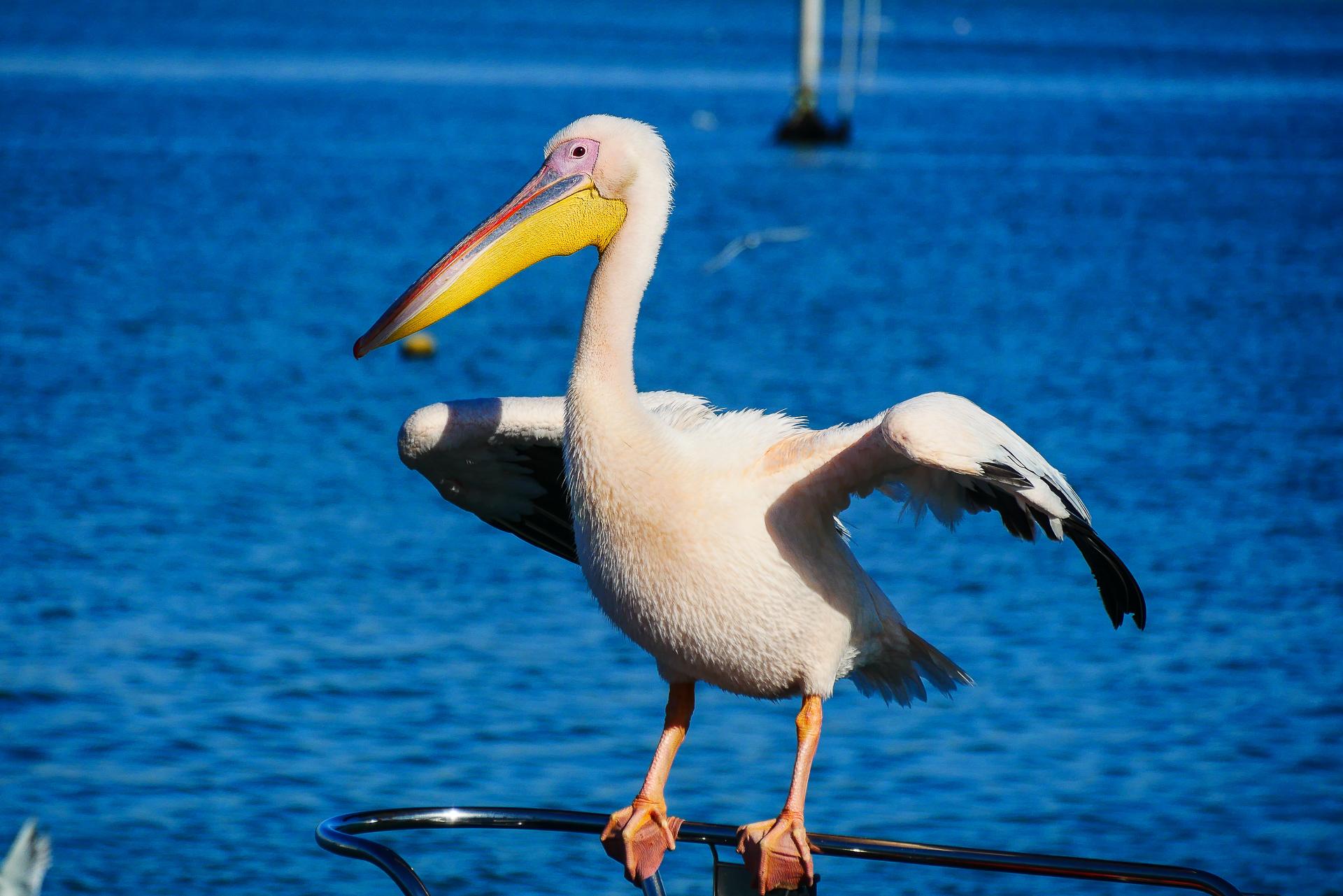 pelican walvis bay Namibie