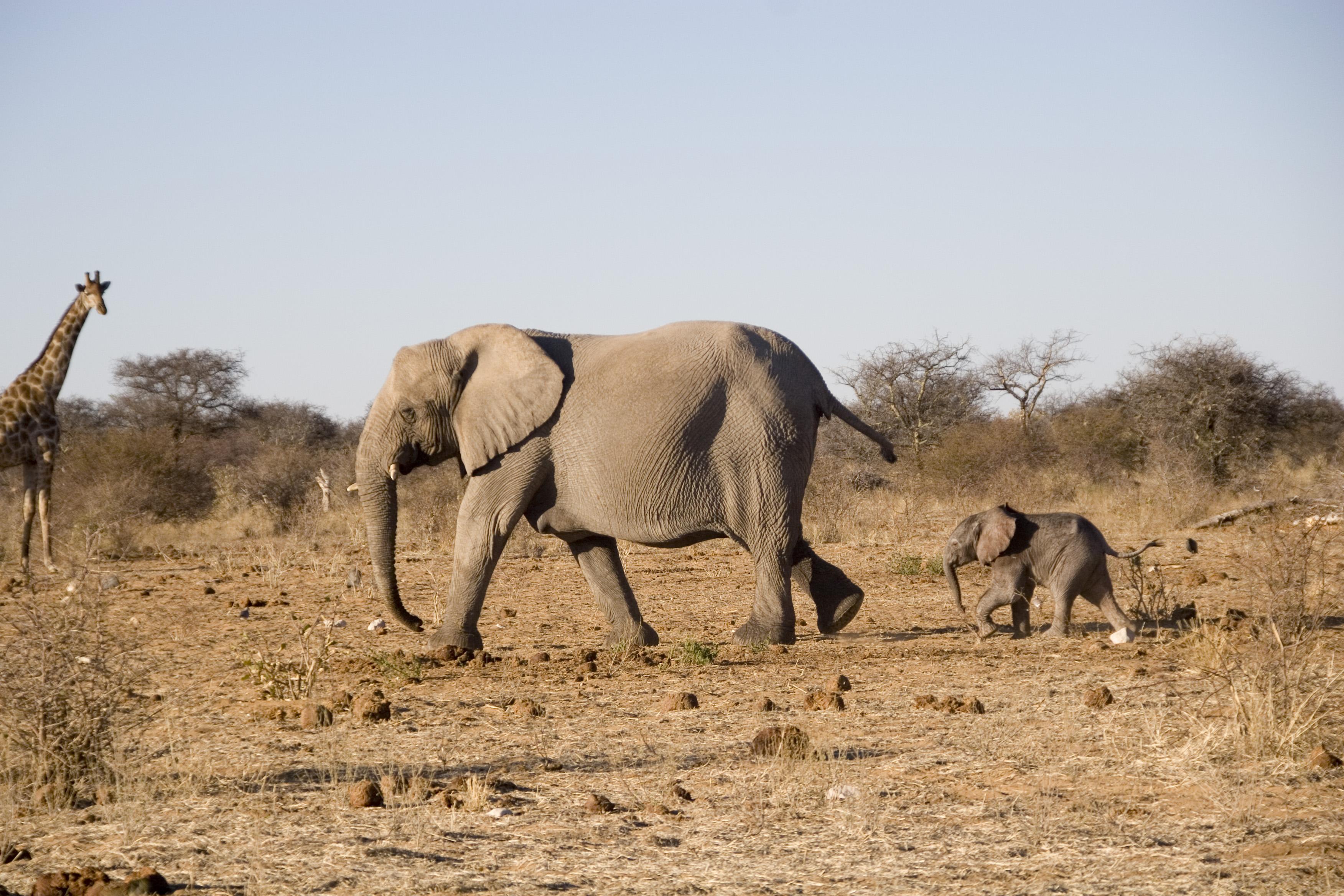 Elephants Safari parc Etosha Namibie