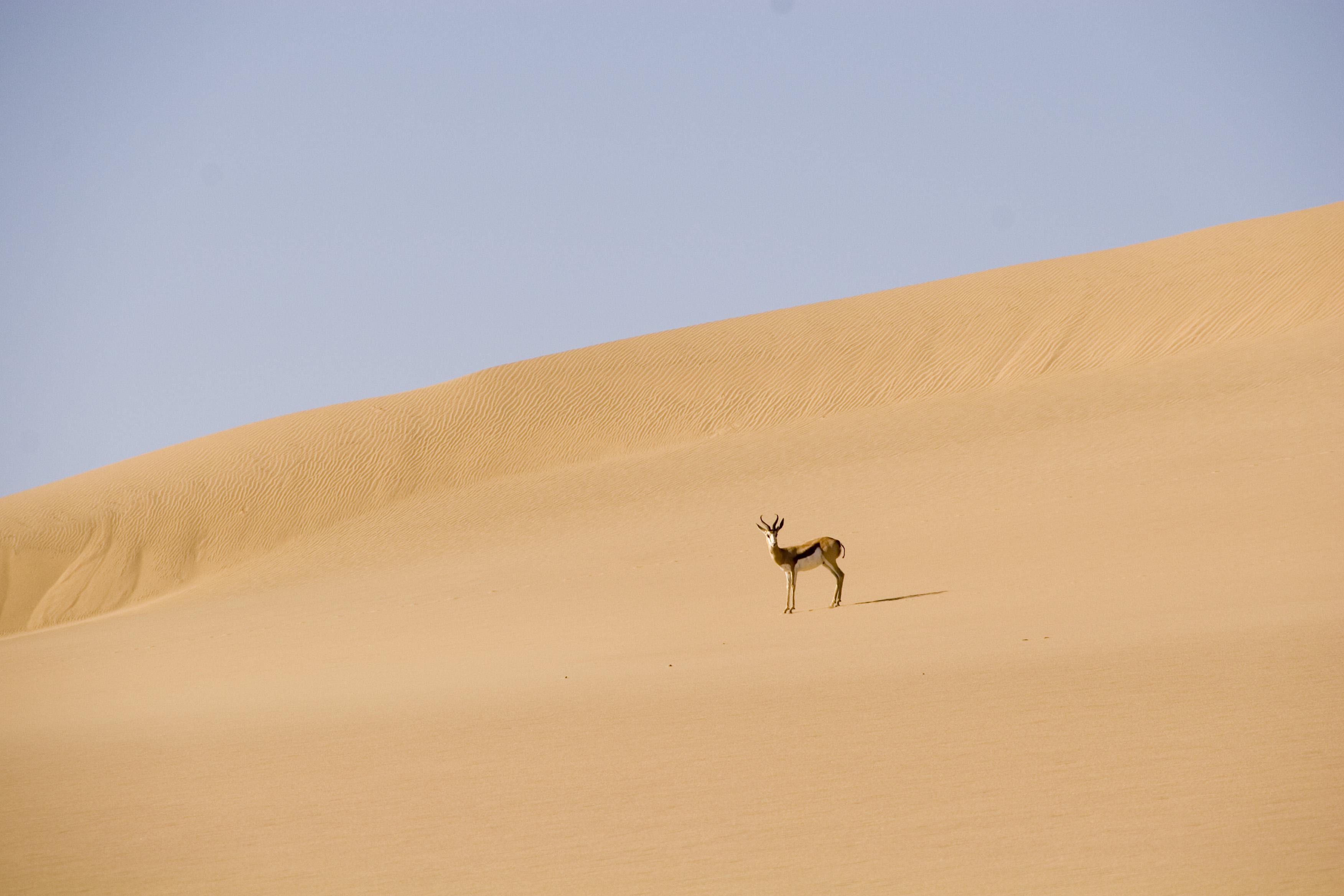 Springbok desert namibie