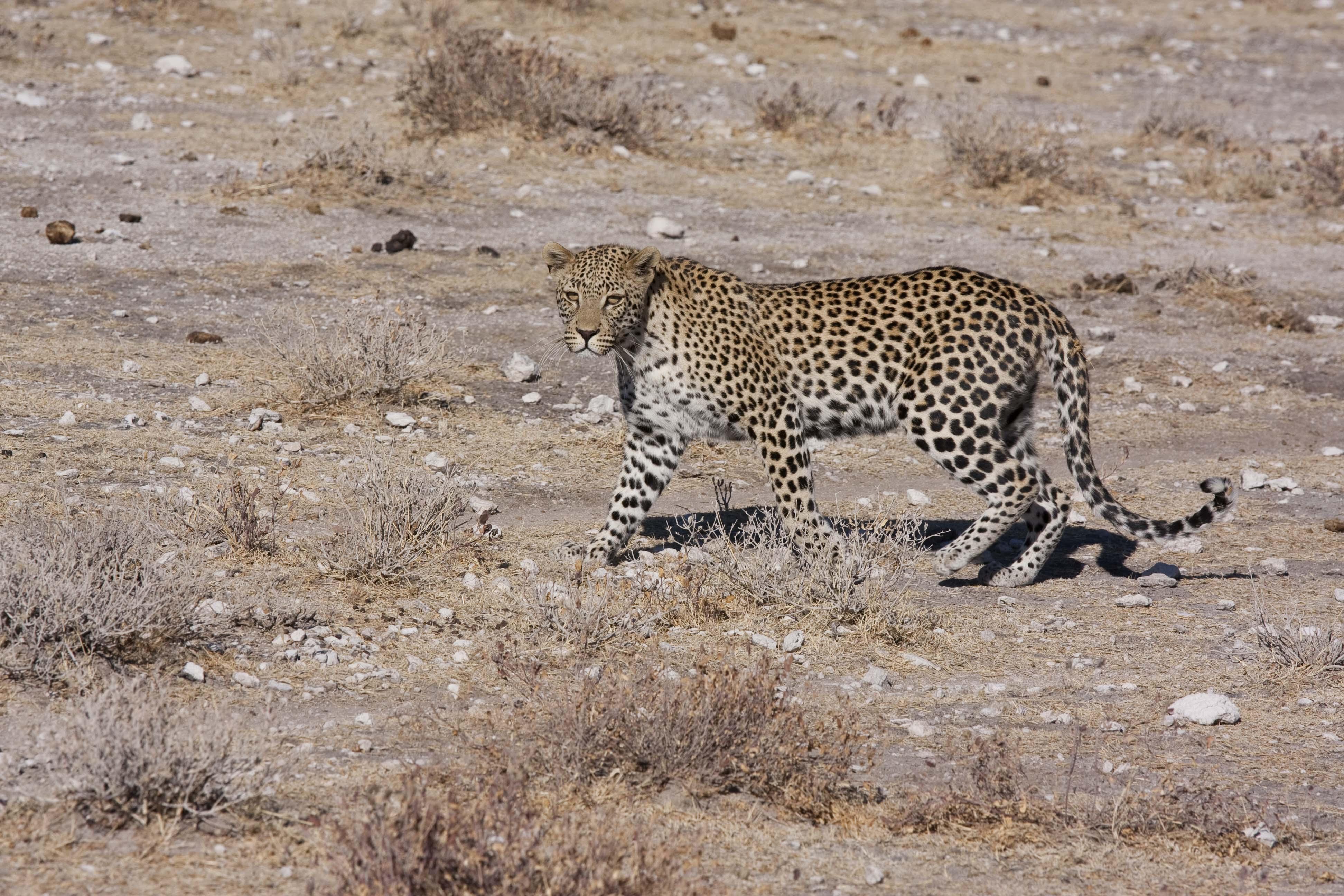 Guepard Kalahari