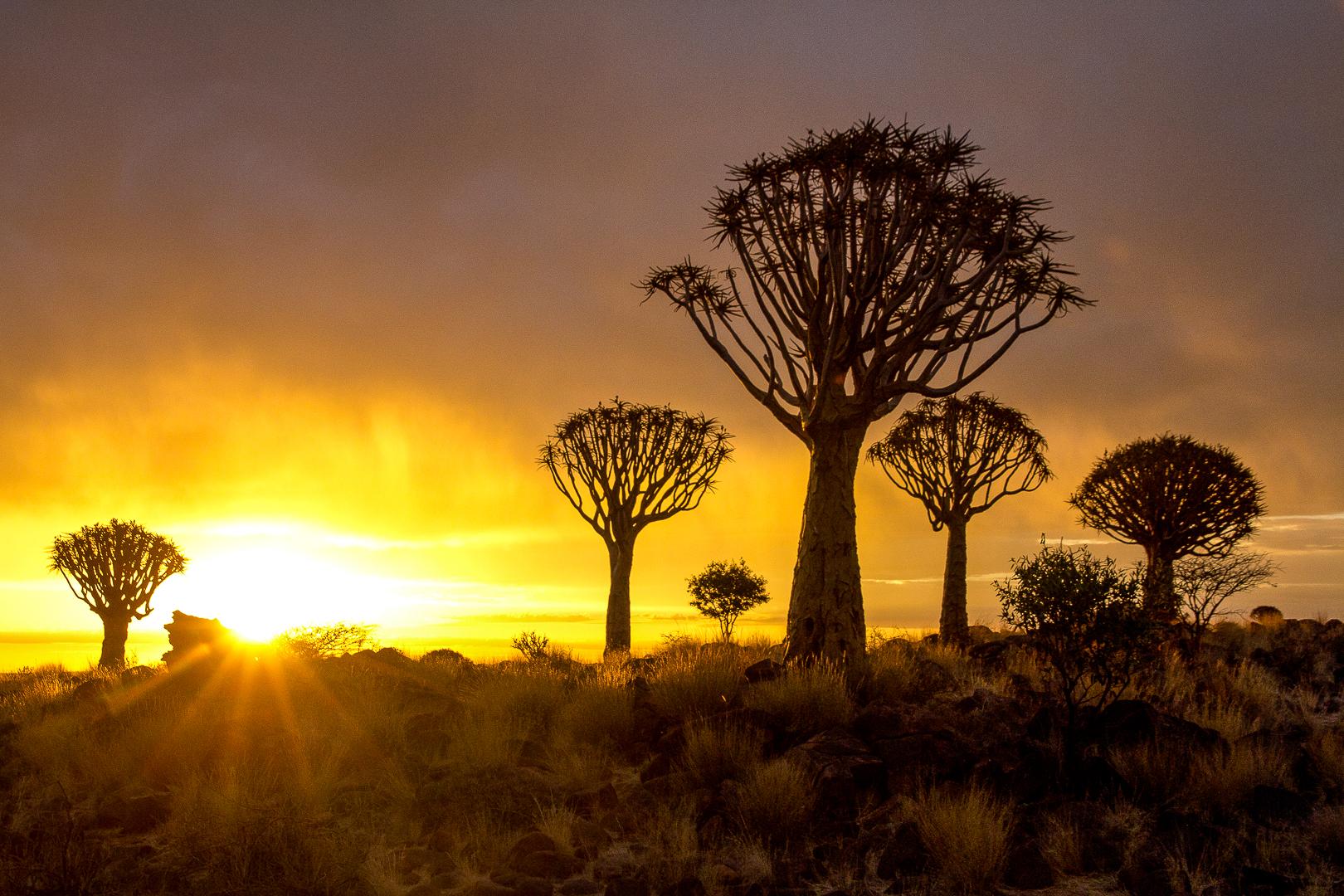 Arbre à carquois kakerboom namibie