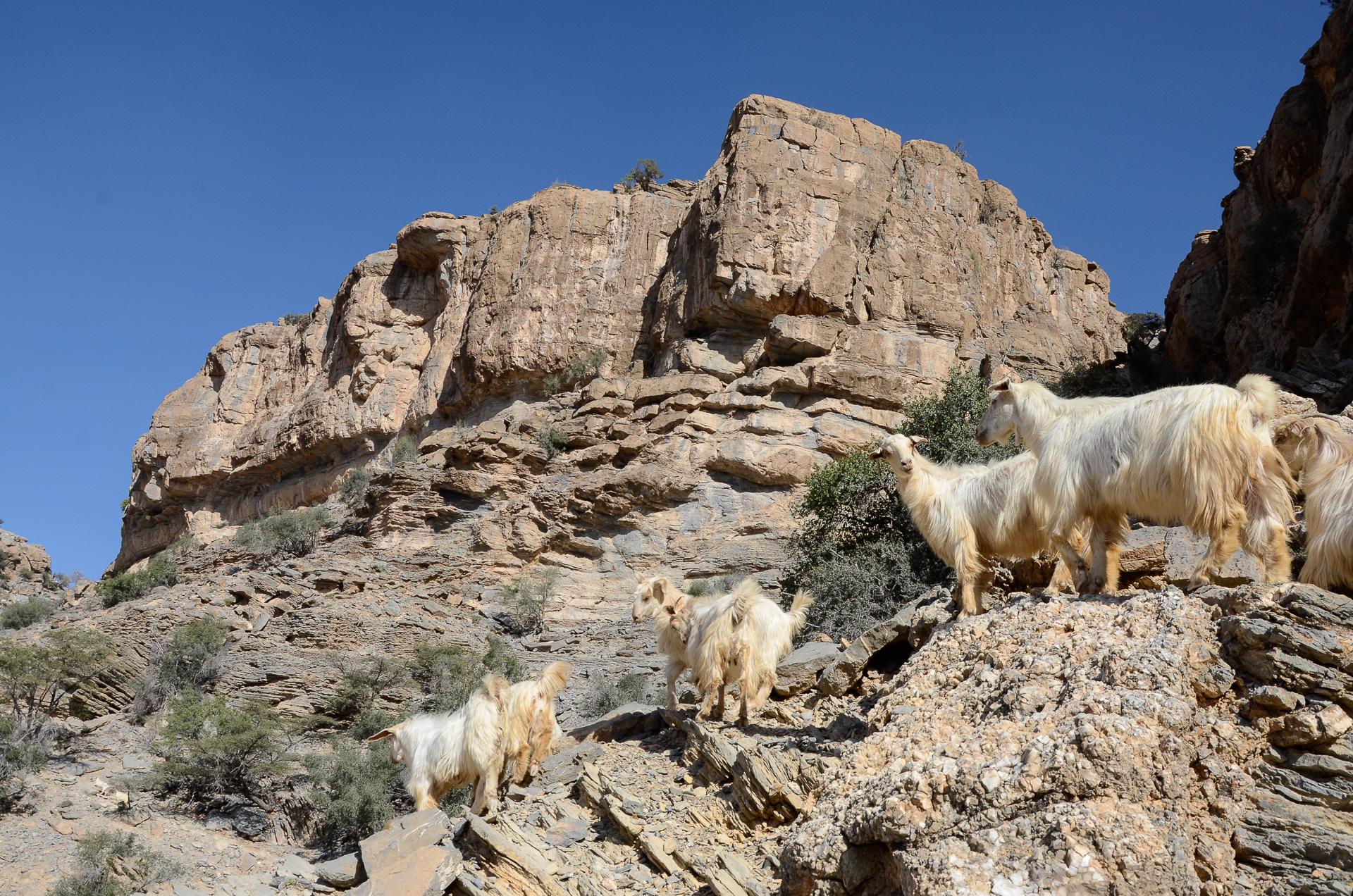 chèvres des montagnes Oman