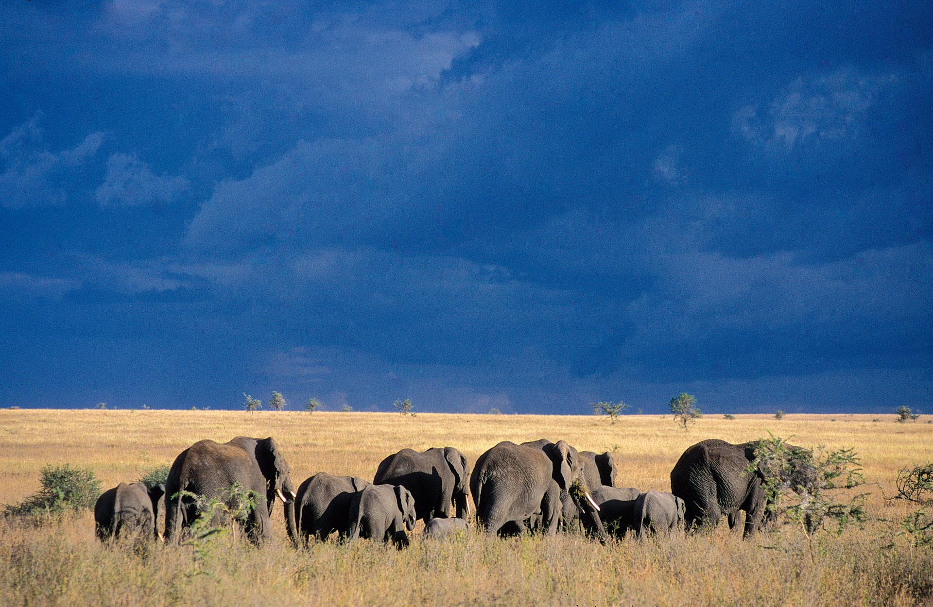 Elephants hardes Kenya Tanzanie