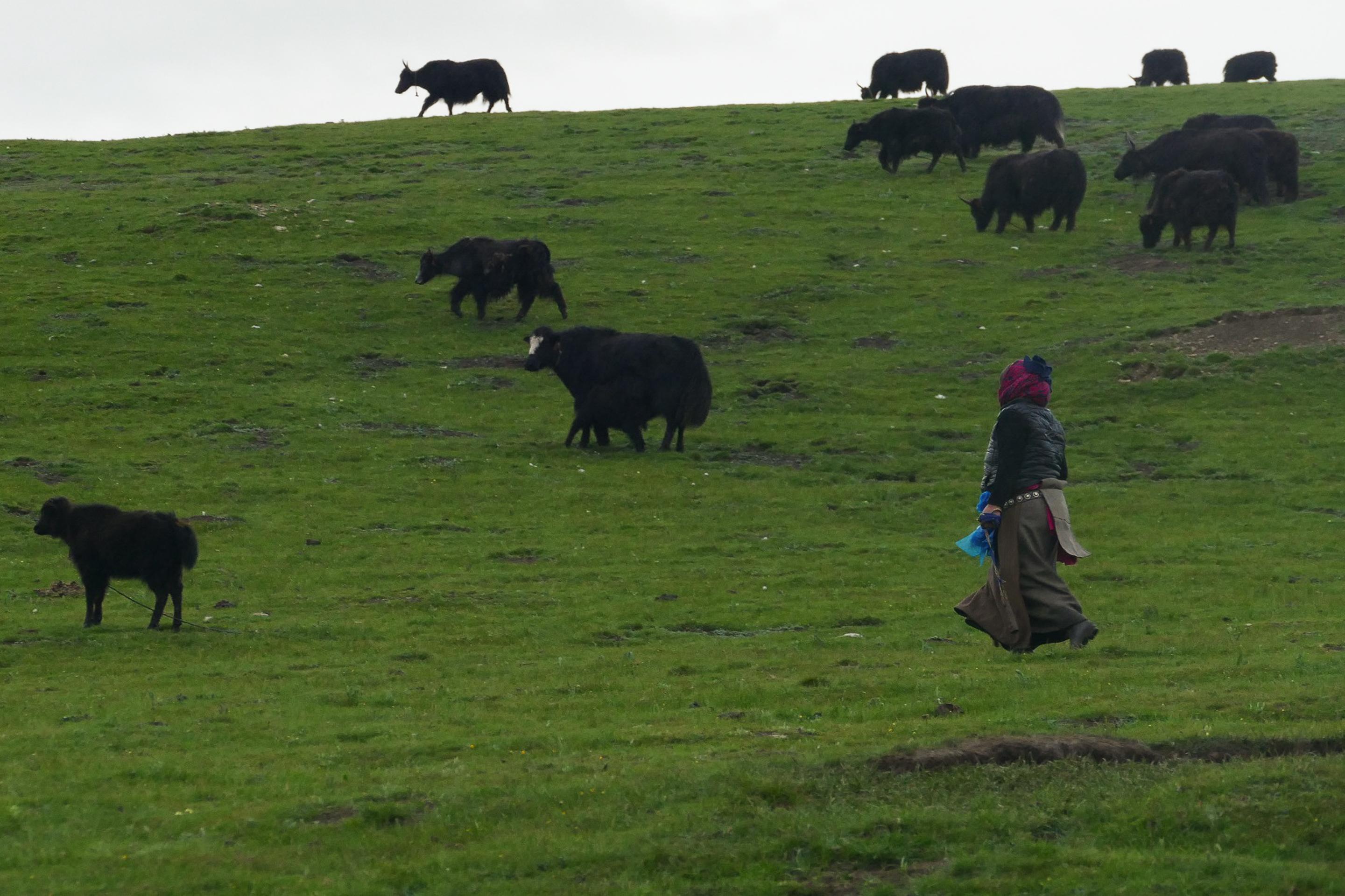 retour des yaks Amdo