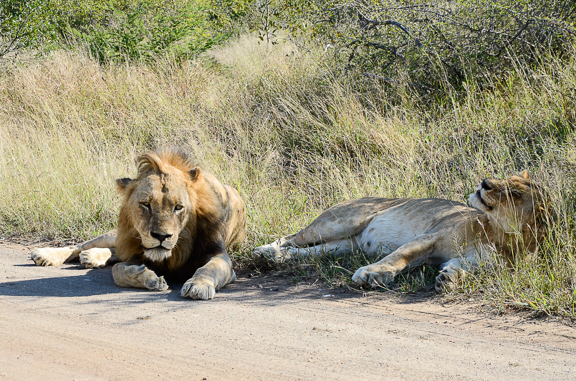 lions afrique du sud big five