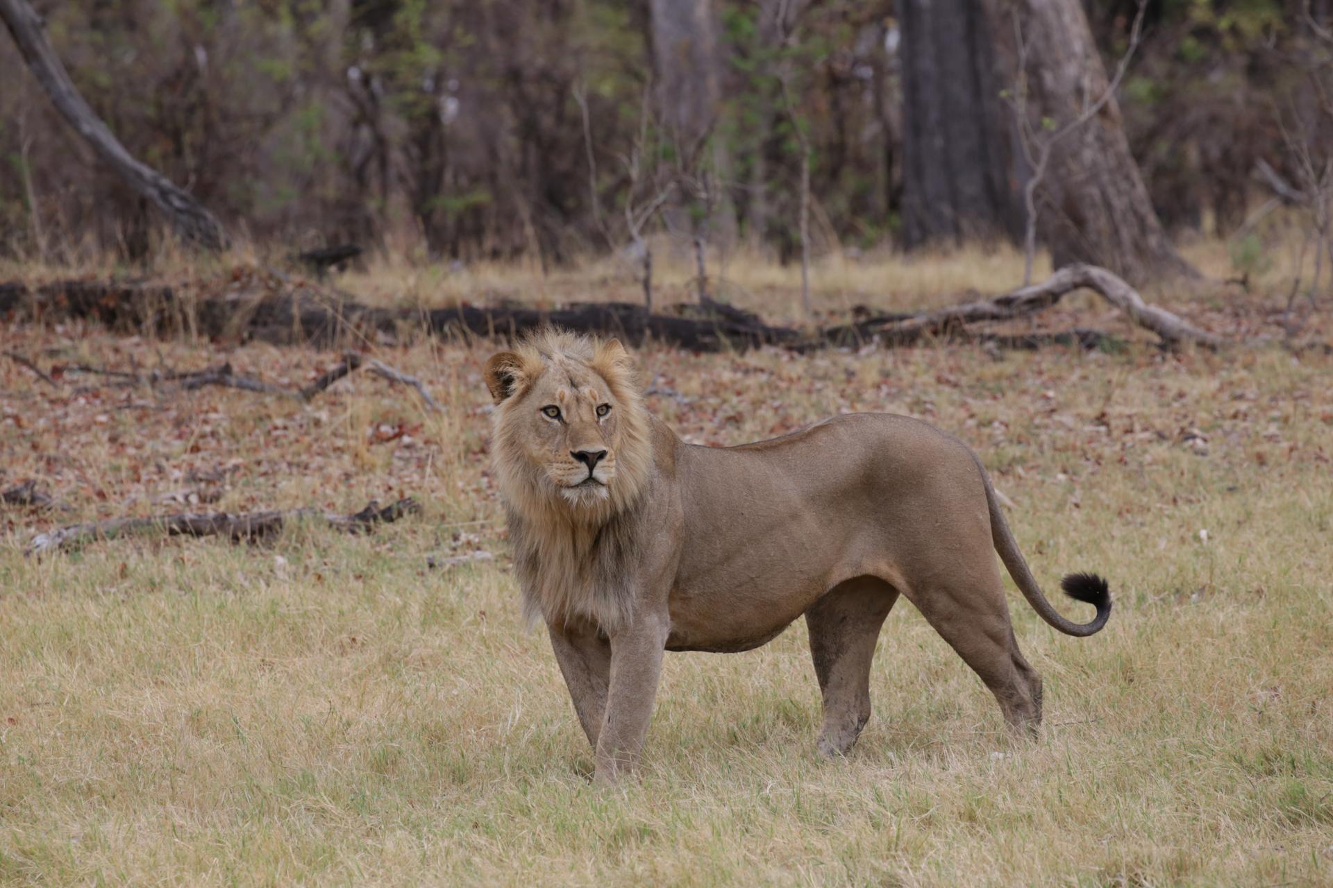 Lion safari botswana Moremi Okavango