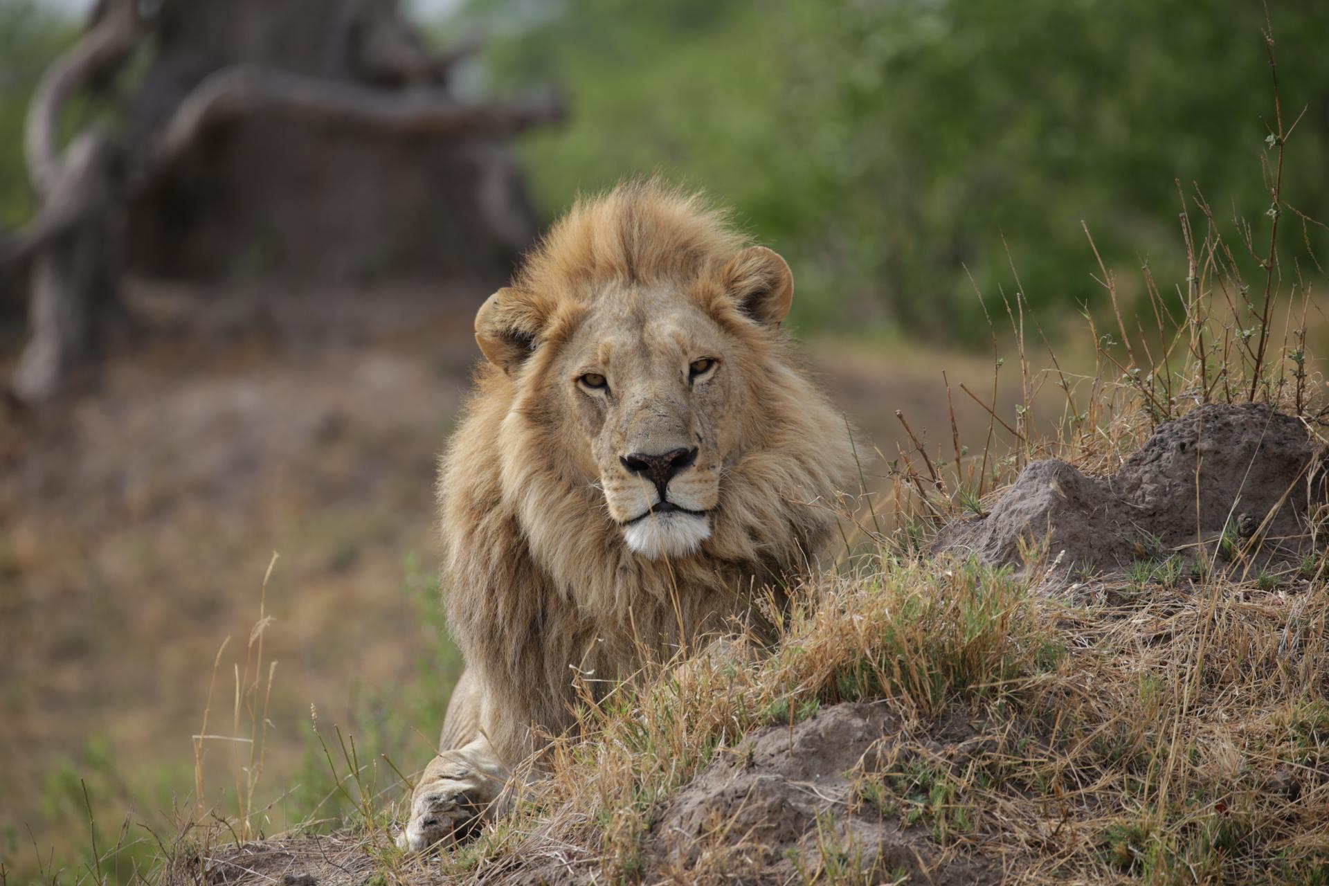 Lion assis Botswana