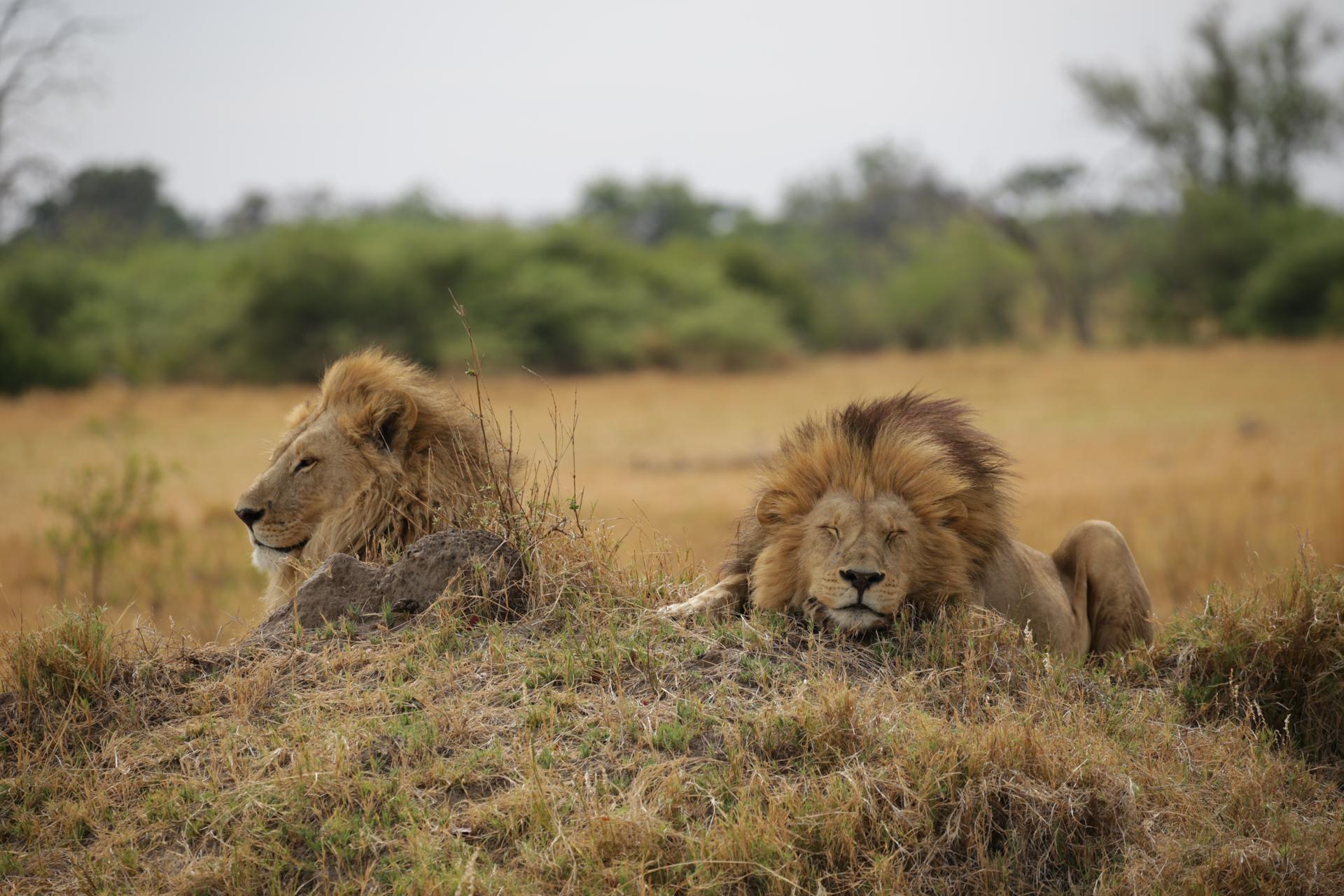 Lions en sieste safari botswana Moremi Okavango