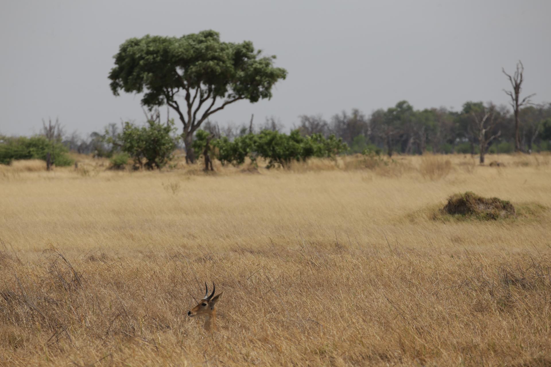 savane safari botswana Moremi Okavango