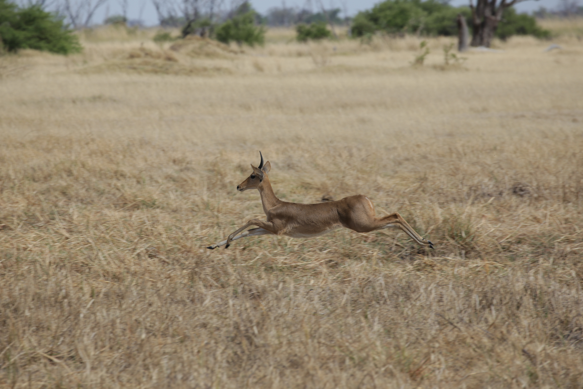 antilope safari botswana Moremi Okavango