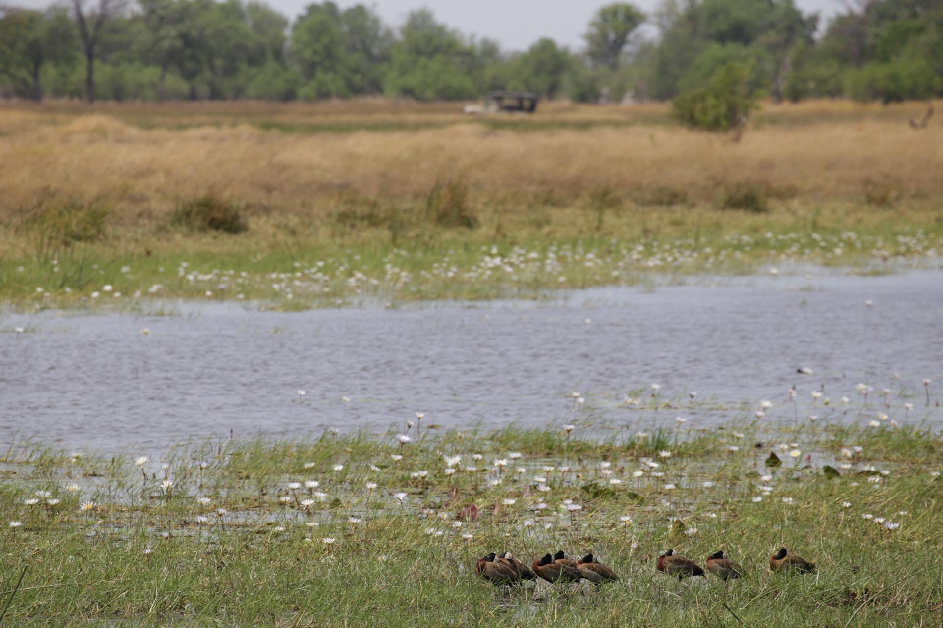 marecage safari botswana Moremi Okavango