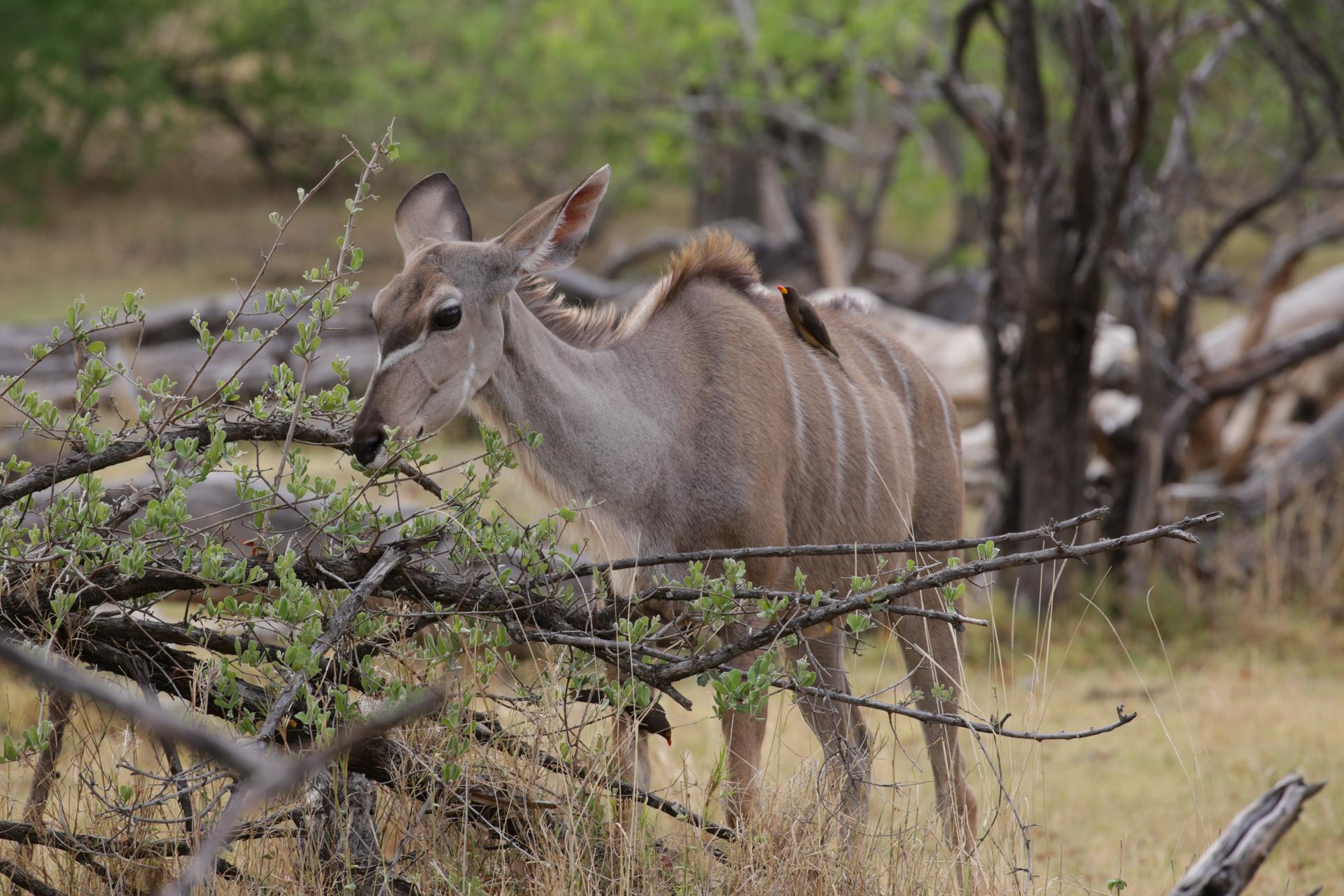 koudu safari botswana Moremi Okavango