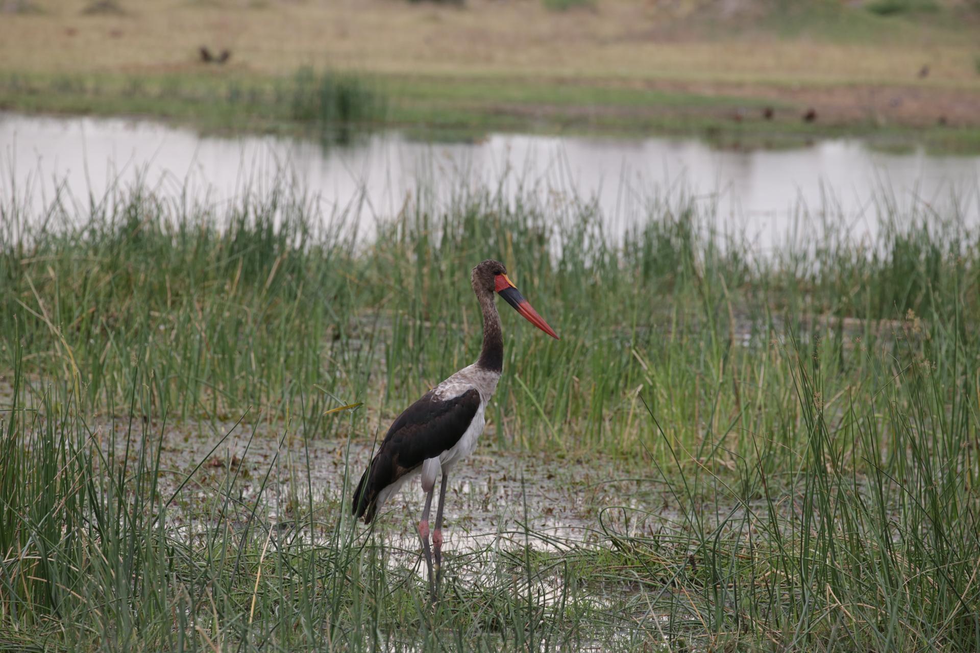 echassier safari botswana Moremi Okavango