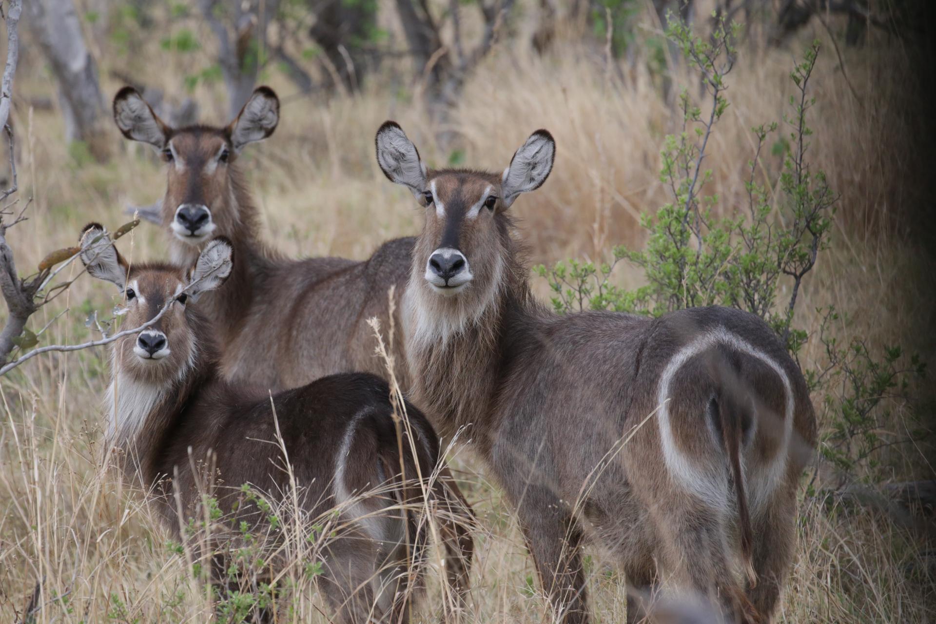 kobe safari botswana Moremi Okavango