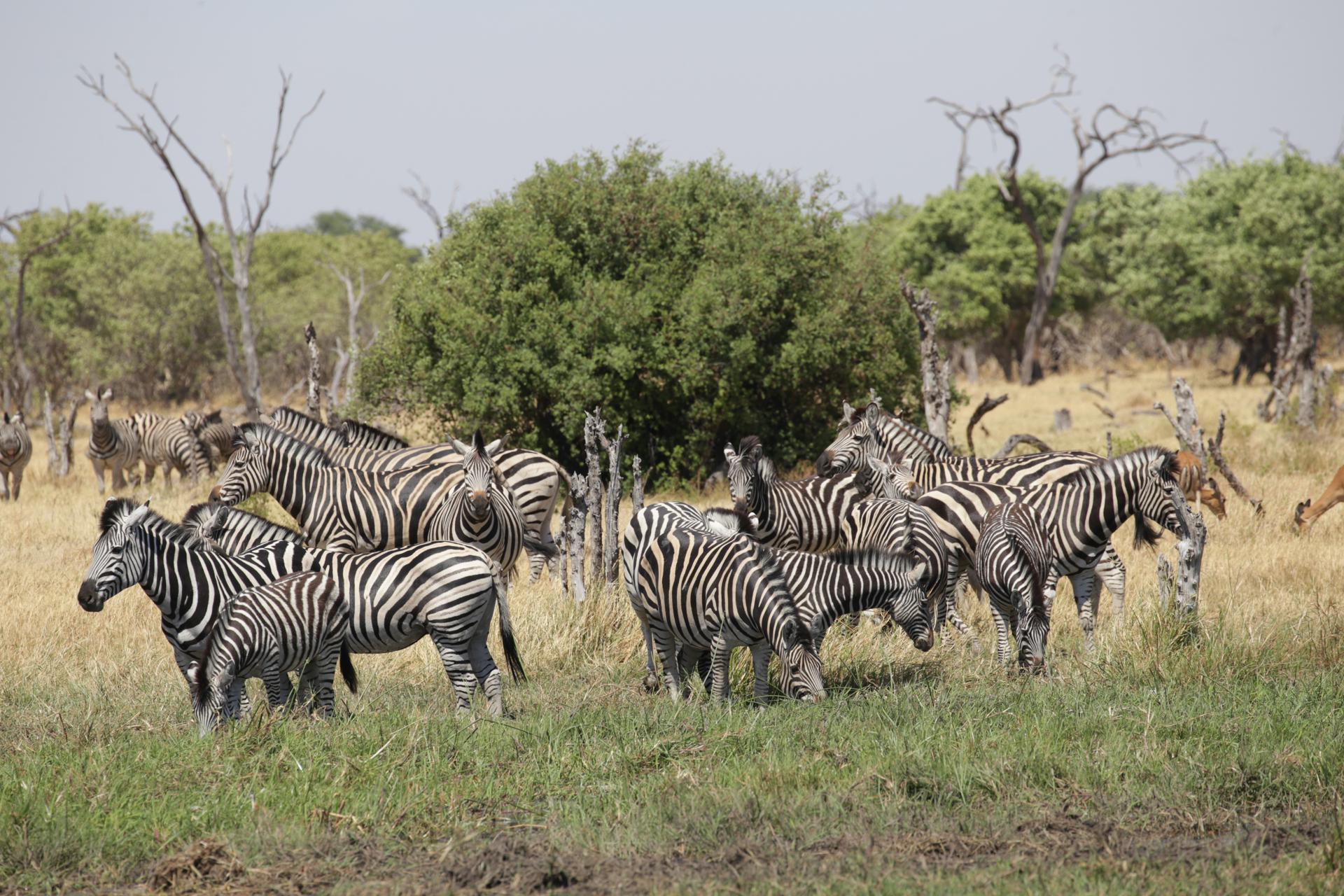Safari Chobe Botswana zèbre