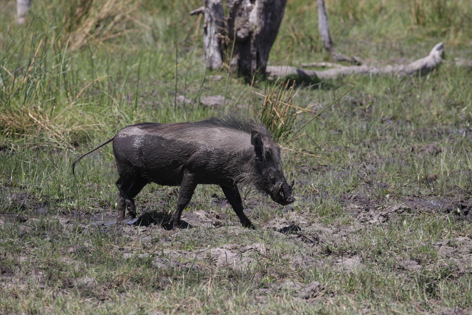 Safari Chobe Botswana