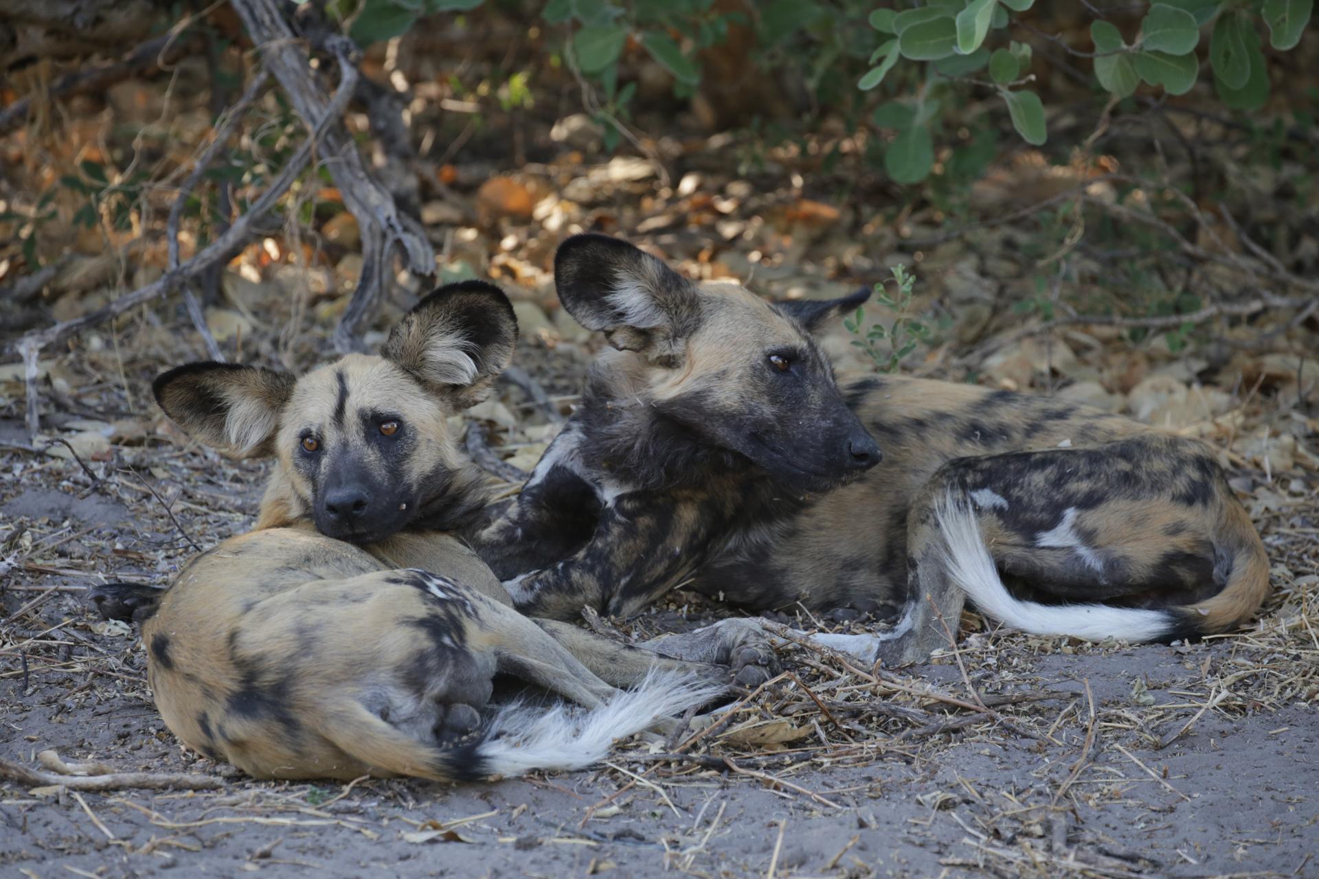 Lycaons Savuti Chobe Botswana