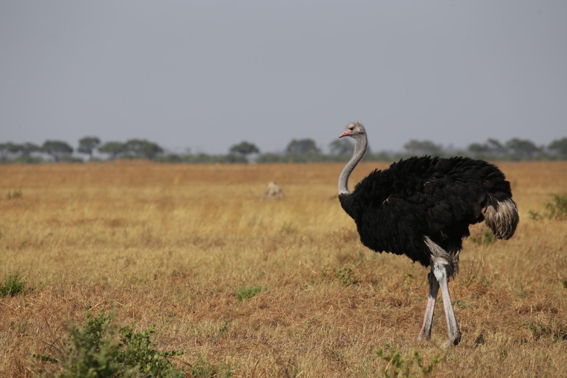 Autruches Savuti Botswana