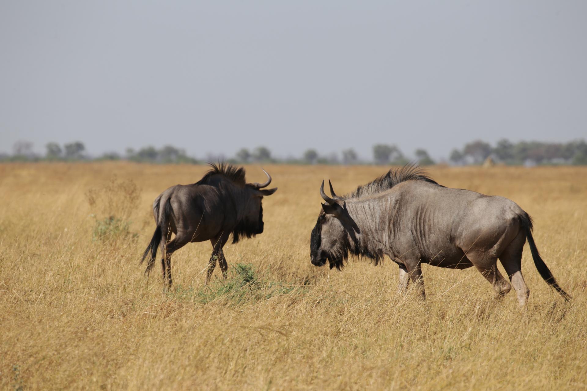 Gnous Savuti Chobe Botswana