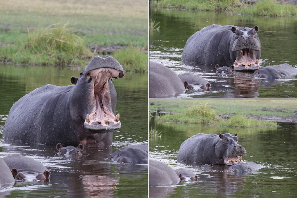 Hippo Chobe Savuti Botswana