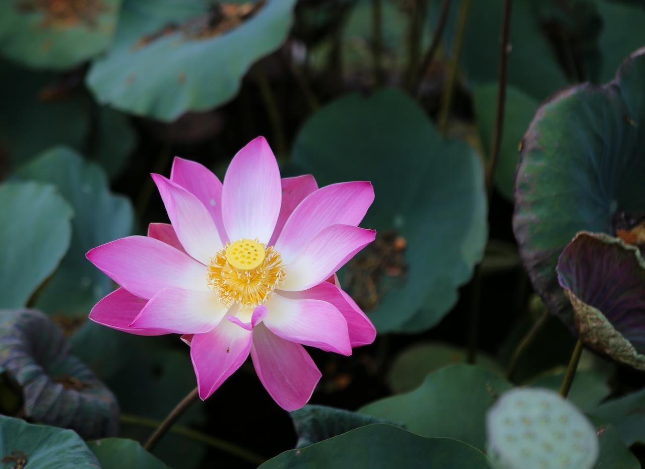La fleur de Lotus, l'un des symboles de Bali
