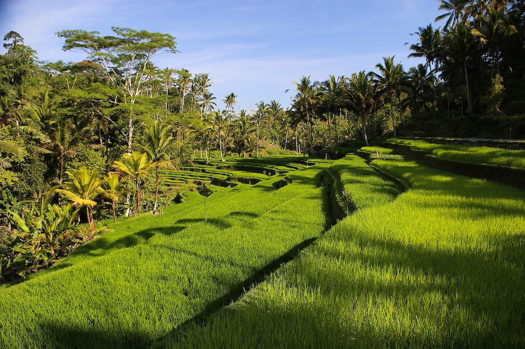 Rizières pour descendre sur Gunung Kawi