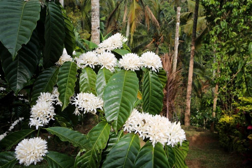 Fleurs de café Arabica
