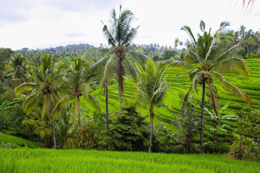 Premières rizières à partir de l'hôtel