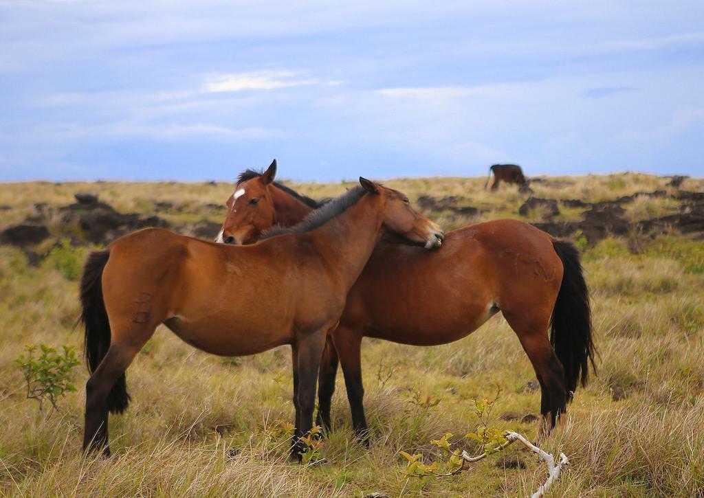 Il y a de nombreux chevaux sur l'île de Pâques