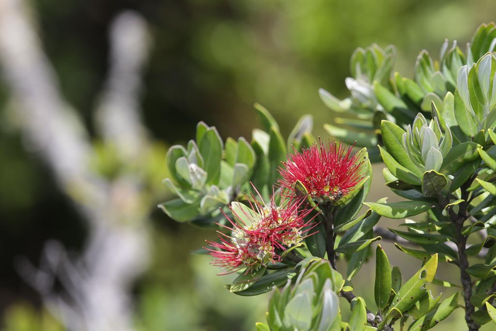 Une fleur de Pohutukawa, l'arbre de Noël