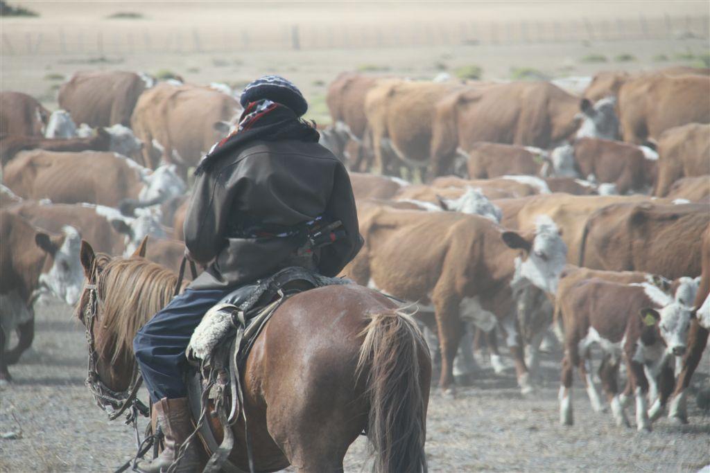 En route, croisement d'un troupeau de vaches