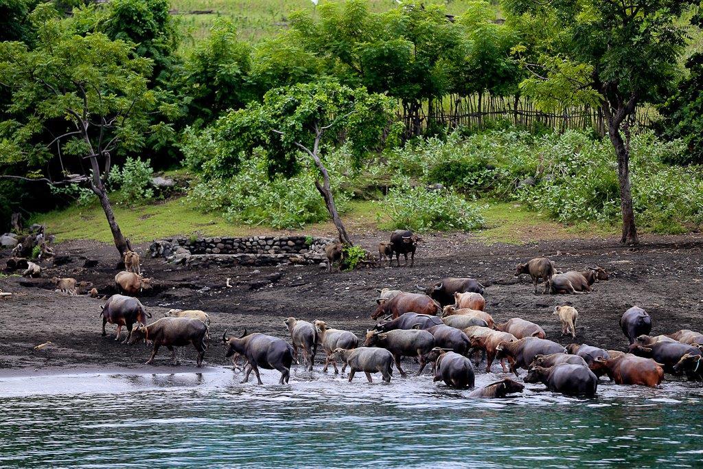 Troupeau de buffles, à demi abandonnés sur l'île de Sangeang