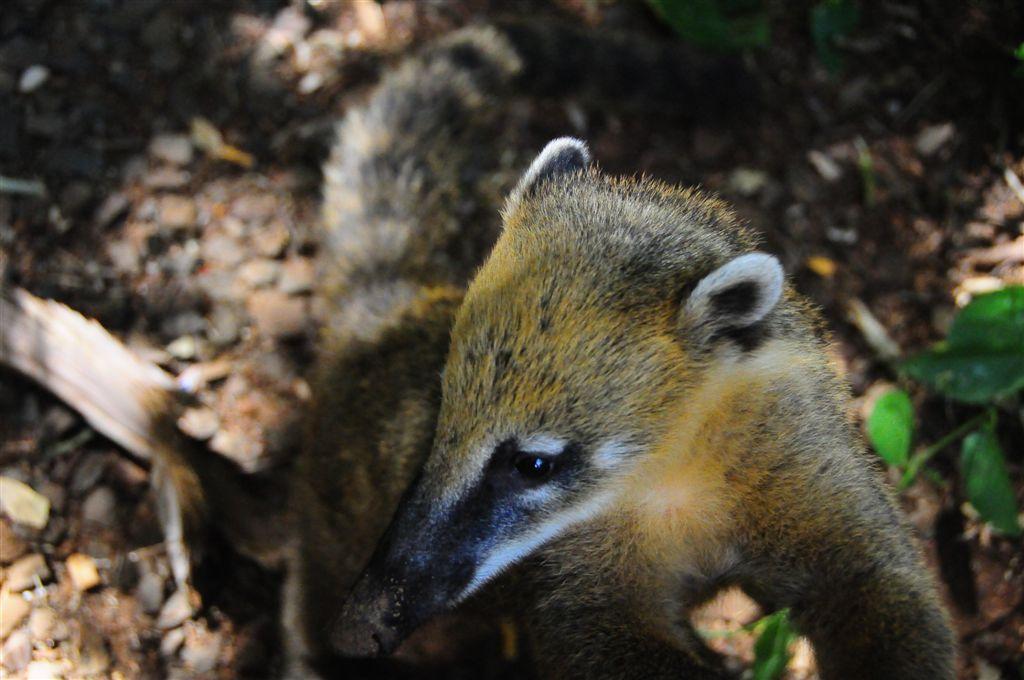 L'un des animaux emblématiques du parc : le coatis