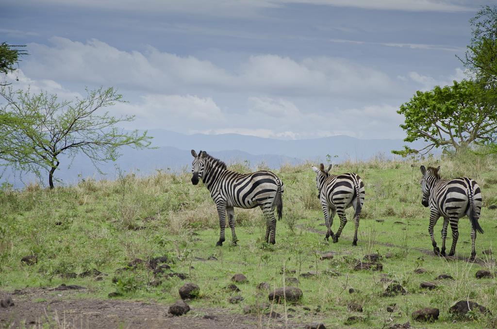 Zèbres de Burchell, Parc national de Nechisar
