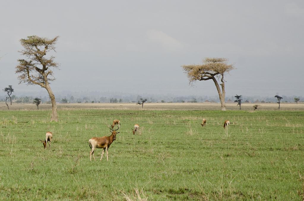 Bubale de Swayne, réserve de Senkele