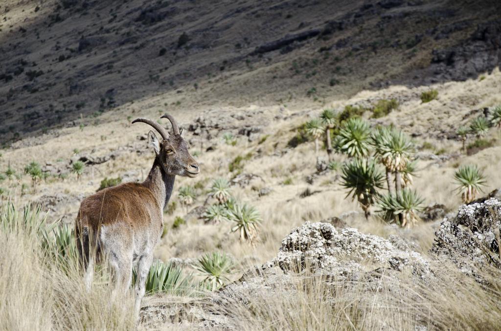 Rencontre avec les ibex walia (ou bouquetins d'Ethiopie)