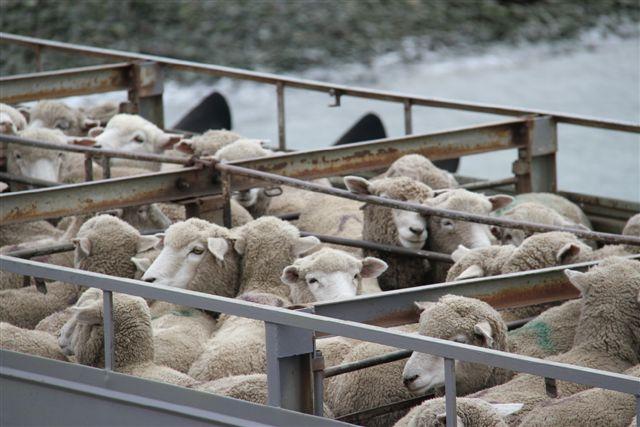 Même les moutons traversent ...