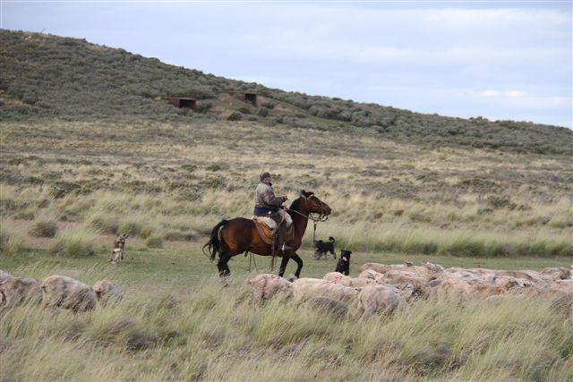 Gaucho au travail avec ses chiens