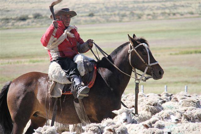 Gaucho avec son troupeau de moutons