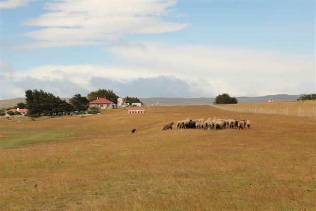 Travail des chiens pour regrouper les troupeaux de moutons
