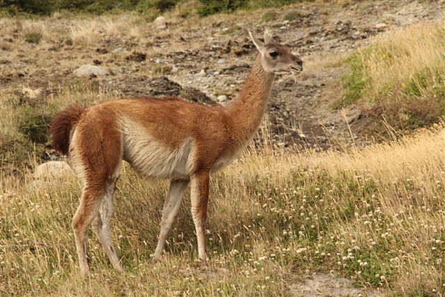 Habitant du parc : le guanaco